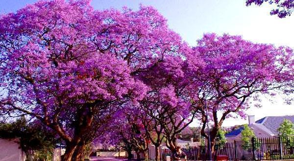 约翰内斯堡紫薇花图