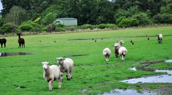 爱歌顿农场羊群