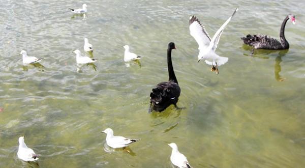 黑野鸭、黑天鹅与白海鸥戏水