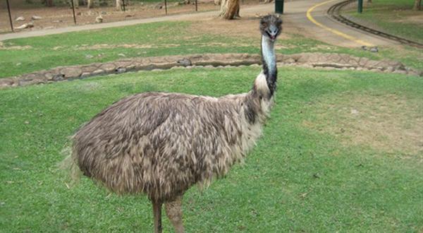 可伦宾野生动物园-鸵鸟