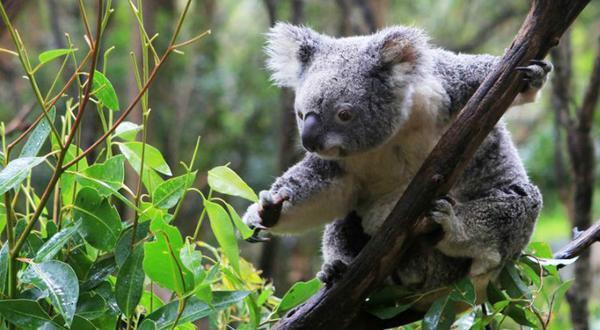 可伦宾野生动物园-考拉
