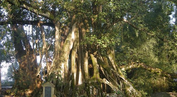 独树成林景观