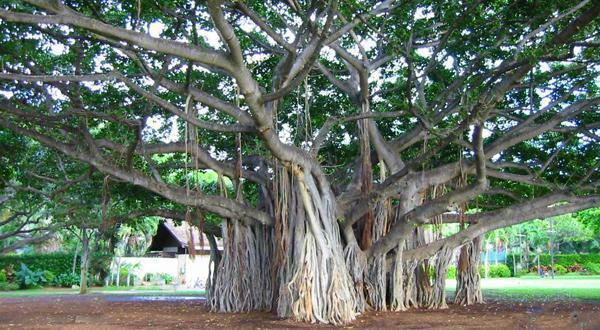 独树成林榕树