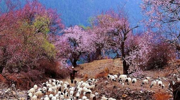 心灵之旅-西藏桃花节布达拉宫、大昭寺雅鲁藏布大峡谷 双卧 9日游