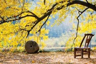 世界最大古银杏群—中国千年银杏谷摄影三日游