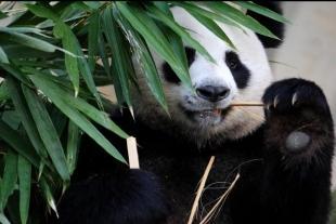 慢成都-熊猫基地、都江堰双动3日