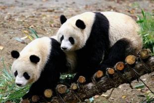 佛坪熊猫谷、佤族野人表演精华一日游