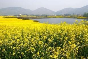 洋县油菜花海、金沙湖、朱鹮梨园一日游